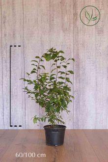Prunellier Conteneur 60-100 cm