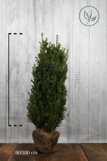 Buis - Arbustes En motte 80-100 cm Qualité extra