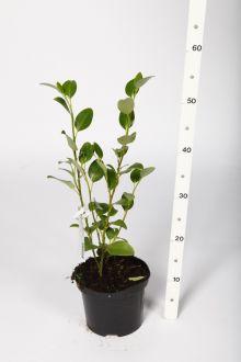 Griselinia du littoral Conteneur 40+ cm