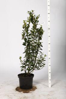 Houx 'Heckenpracht'  Conteneur 80-100 cm Qualité extra