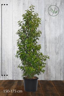 Laurier du Portugal 'Angustifolia'  Conteneur 150-175 cm Qualité extra