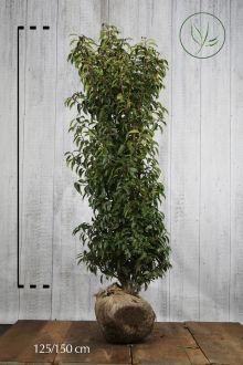 Laurier du Portugal 'Angustifolia'  En motte 125-150 cm Qualité extra