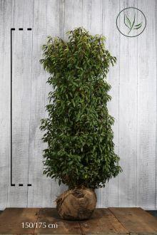Laurier du Portugal 'Angustifolia'  En motte 150-175 cm Qualité extra