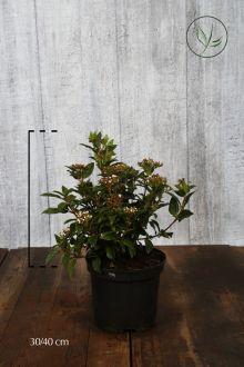Laurier tin  Conteneur 30-40 cm