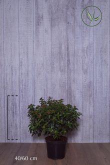 Laurier tin  Conteneur 40-60 cm