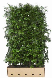 Métaséquoia Haies prêtes à planter 200 cm Prêts à planter