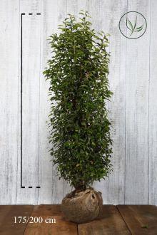 Laurier du Portugal 'Angustifolia'  En motte 175-200 cm Qualité extra