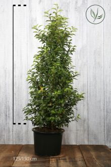 Laurier du Portugal 'Angustifolia'  Conteneur 125-150 cm Qualité extra