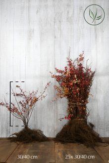 Épine-vinette de Thunberg pourpre Racines nues 30-40 cm