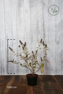 Arbre aux papillons 'Lochinch' Conteneur 70-80 cm Qualité extra