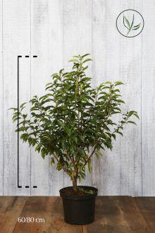 Laurier du Portugal 'Angustifolia'  Conteneur 60-80 cm