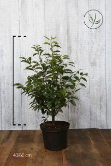 Laurier du Portugal 'Angustifolia'  Conteneur 40-60 cm