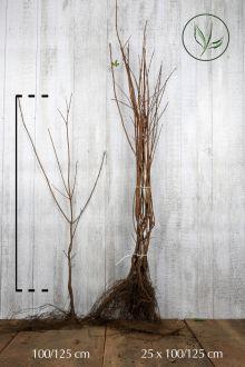 Erable champêtre  Racines nues 100-125 cm Qualité extra