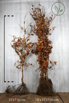 Hêtre commun, Hêtre vert  Racines nues 125-150 cm Qualité extra
