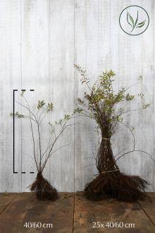 Spirée 'Grefsheim' Racines nues 40-60 cm