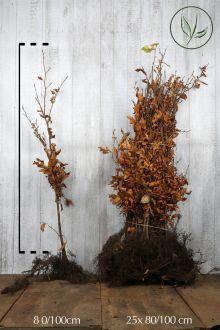 Hêtre commun, Hêtre vert  Racines nues 80-100 cm Qualité extra