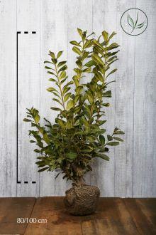 Laurier palme 'Novita'  En motte 80-100 cm
