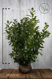 Laurier palme 'Novita'  En motte 100-125 cm Qualité extra