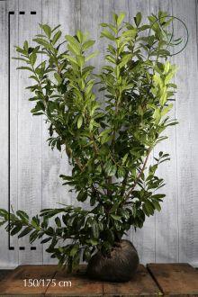 Laurier palme 'Novita'  En motte 150-175 cm Qualité extra