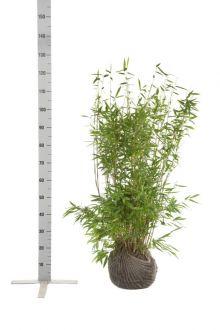 Fargesia murielae 'Jumbo' En motte 80-100 cm