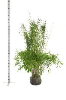 Fargesia murielae 'Jumbo' En motte 150-175 cm