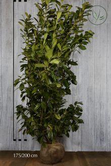 Laurier palme 'Novita'  En motte 175-200 cm Qualité extra