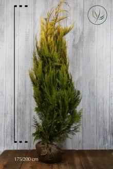 Faux Cyprès de Lawson 'Ivonne' En motte 175-200 cm