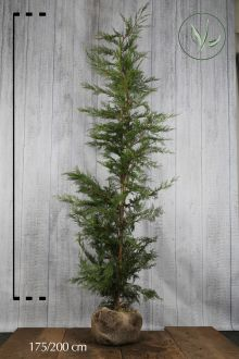 Cyprès de Leyland (vert) En motte 175-200 cm