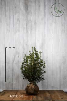 Osmanthe heterophyllus En motte 60-80 cm