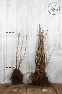 Lilas commun Racines nues 40-60 cm