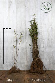 Troène Champêtre, Troène d'Europe  Racines nues 40-60 cm