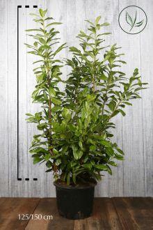 Laurier palme 'Novita'  Conteneur 125-150 cm
