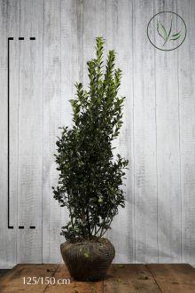 Houx 'Heckenpracht'  En motte 125-150 cm