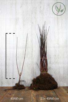 Cornouiller blanc 'Kesselringii' Racines nues 40-60 cm