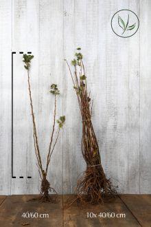Groseillier à fleurs 'King Edward VII'  Racines nues 40-60 cm