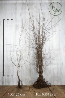 Prunellier Racines nues 100-125 cm
