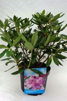 Rhododendron 'Catawbiense Grandiflorum'   Conteneur 40-50 cm Qualité extra