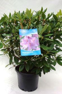 Rhododendron 'Catawbiense Grandiflorum'   Conteneur 60-70 cm Qualité extra