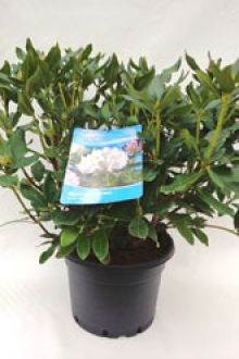 Rhododendron 'Cunninghams White'  Conteneur 60-70 cm Qualité extra