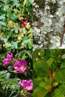 Haie anti-intrusions racines nues 30-60 cm