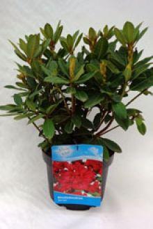 Rhododendron 'Red Jack'  Conteneur 40-50 cm Qualité extra