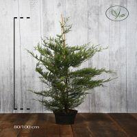 Cyprès de Leyland (vert) Conteneur 80-100 cm Qualité extra