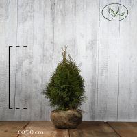 Thuya du Canada 'Smaragd'  En motte 60-80 cm Qualité extra