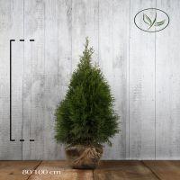 Thuya du Canada 'Smaragd'  En motte 80-100 cm Qualité extra