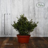 Buis - Arbustes Conteneur 30-40 cm
