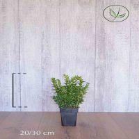 Buis - Arbustes Conteneur 20-30 cm