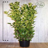 Laurier cerise 'Rotundifolia' Conteneur 125-150 cm Qualité extra
