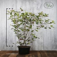 Photinia 'Red Robin'  Conteneur 125-150 cm