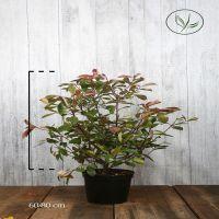 Photinia 'Red Robin'  Conteneur 60-80 cm Qualité extra