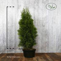 Thuya du Canada 'Smaragd'  Conteneur 125-150 cm Qualité extra